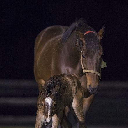 VegasShowgirl-Snitzel-08212016-9260 - VEGAS SHOWGIRL, the dam of champion racehorse WINX, with her newborn foal, a bay filly by SNITZEL.  She was foaled...