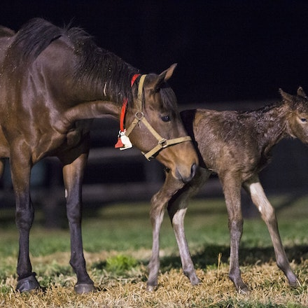 VegasShowgirl-Snitzel-08212016-906701 - VEGAS SHOWGIRL, the dam of champion racehorse WINX, with her newborn foal, a bay filly by SNITZEL.  She was foaled...