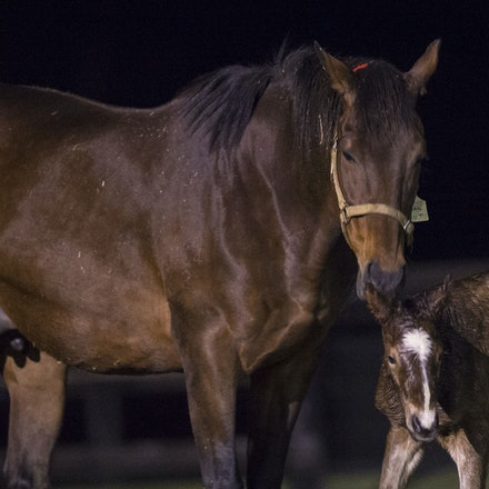 VegasShowgirl-Snitzel-08212016-9086 - VEGAS SHOWGIRL, the dam of champion racehorse WINX, with her newborn foal, a bay filly by SNITZEL.  She was foaled...
