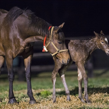 VegasShowgirl-Snitzel-08212016-906501 - VEGAS SHOWGIRL, the dam of champion racehorse WINX, with her newborn foal, a bay filly by SNITZEL.  She was foaled...