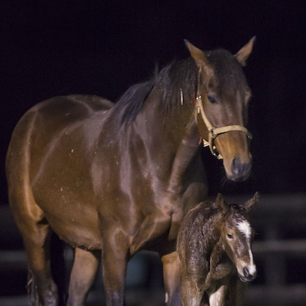 VegasShowgirl-Snitzel-08212016-9048 - VEGAS SHOWGIRL, the dam of champion racehorse WINX, with her newborn foal, a bay filly by SNITZEL.  She was foaled...