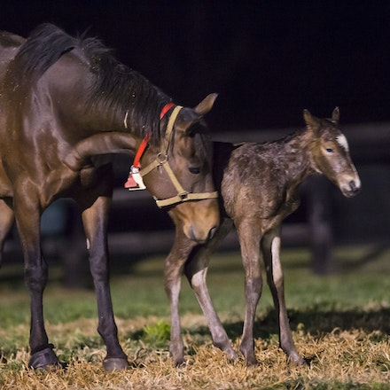VegasShowgirl-Snitzel-08212016-9062 - VEGAS SHOWGIRL, the dam of champion racehorse WINX, with her newborn foal, a bay filly by SNITZEL.  She was foaled...