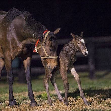 VegasShowgirl-Snitzel-08212016-905901 - VEGAS SHOWGIRL, the dam of champion racehorse WINX, with her newborn foal, a bay filly by SNITZEL.  She was foaled...