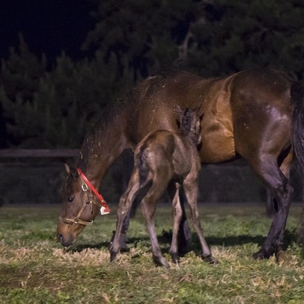 VegasShowgirl-Snitzel-08212016-8949 - VEGAS SHOWGIRL, the dam of champion racehorse WINX, with her newborn foal, a bay filly by SNITZEL.  She was foaled...