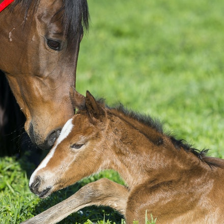 VegasShowgirl-Snitzel-08212016-3868 - VEGAS SHOWGIRL, the dam of champion racehorse WINX, with her 7 hour old newborn foal, a bay filly by SNITZEL.  She...