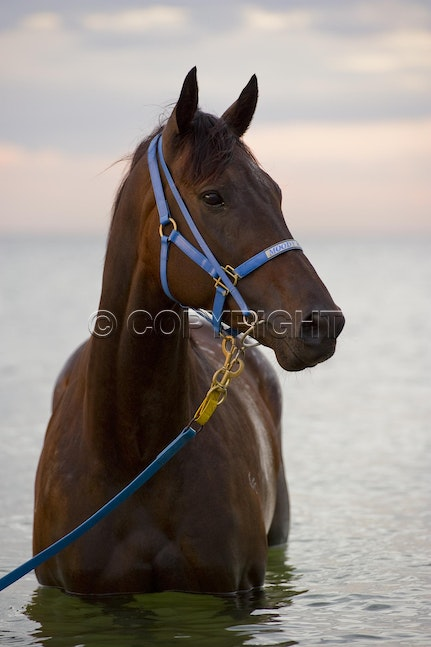 BlackCaviar-01182012-DSC_9383_1 - Black Caviar visits the beach at dawn on 18 January 2012, as part of her leadup to the Australian Stakes on 27 January....