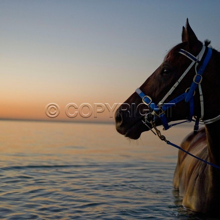 BlackCaviar-01242012-DSC_1408 - Black Caviar visits the beach at dawn on 24 January 2012, as part of her leadup to the Australian Stakes on 27 January....