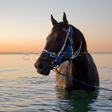 BlackCaviar-01242012-DSC_1534 - Black Caviar visits the beach at dawn on 24 January 2012, as part of her leadup to the Australian Stakes on 27 January....