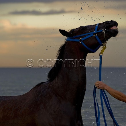 BlackCaviar-01182012-DSC_0010 - Black Caviar visits the beach at dawn on 18 January 2012, as part of her leadup to the Australian Stakes on 27 January....