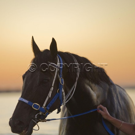 BlackCaviar-01242012-DSC_1848 - Black Caviar visits the beach at dawn on 24 January 2012, as part of her leadup to the Australian Stakes on 27 January....