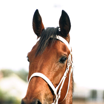 Sunline - SUNLINE (Desert Sun - Songline) is a legendary champion.  She was bred in New Zealand by my good friends Susan Archer and Mike Martin.  She was...
