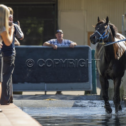 BlackCaviar-04122013-DSC_4432 - Black Caviar (Bel Esprit - Helsinge) swims in the pool at Rosehill Gardens Racecourse on Friday 12 Aril 2013, the day before...