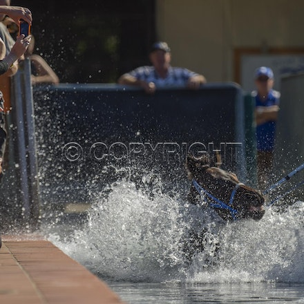 BlackCaviar-04122013-DSC_4442 - Black Caviar (Bel Esprit - Helsinge) swims in the pool at Rosehill Gardens Racecourse on Friday 12 Aril 2013, the day before...