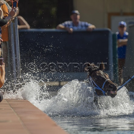 BlackCaviar-04122013-DSC_4446 - Black Caviar (Bel Esprit - Helsinge) swims in the pool at Rosehill Gardens Racecourse on Friday 12 Aril 2013, the day before...
