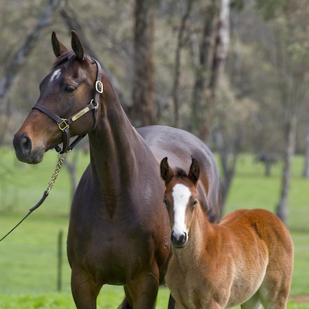 Accessories-ExceedAndExcel-09292012-GMP_1114 - Champion broodmare Accessories, dam of G1 winners Helmet (Caulfield Guineas, AJC Sires, Champagne Stakes)...