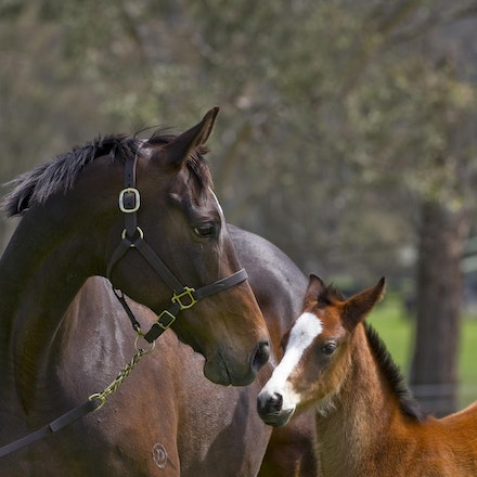 Accessories-ExceedAndExcel-09292012-GMP_1134 - Champion broodmare Accessories, dam of G1 winners Helmet (Caulfield Guineas, AJC Sires, Champagne Stakes)...
