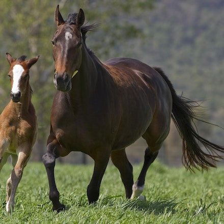 Accessories-ExceedAndExcel-09292012-GMP_1450 - Champion broodmare Accessories, dam of G1 winners Helmet (Caulfield Guineas, AJC Sires, Champagne Stakes)...