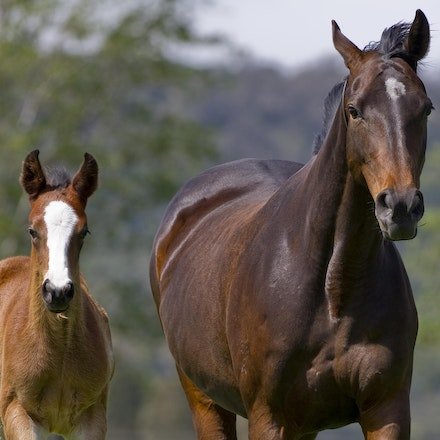 Accessories-ExceedAndExcel-09292012-GMP_1461 - Champion broodmare Accessories, dam of G1 winners Helmet (Caulfield Guineas, AJC Sires, Champagne Stakes)...