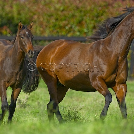 Helsinge and Redoute's Choice colt - Helsinge, dam of Black Caviar, photographed at Gilgai Farm with her Redoute's Choice colt, who sold for $5m on 9 April...