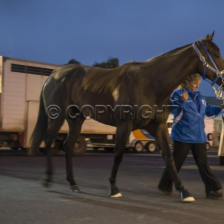 BlackCaviar-03222013-DSC_0798 - Black Caviar (Bel Esprit - Helsinge) arrives on course before the William Reid Stakes (G1) on Friday 22 March 2013. Photo...