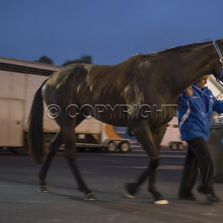BlackCaviar-03222013-DSC_0800 - Black Caviar (Bel Esprit - Helsinge) arrives on course before the William Reid Stakes (G1) on Friday 22 March 2013. Photo...