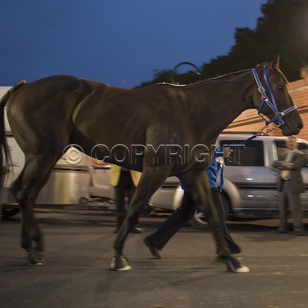 BlackCaviar-03222013-DSC_0814 - Black Caviar (Bel Esprit - Helsinge) arrives on course before the William Reid Stakes (G1) on Friday 22 March 2013. Photo...