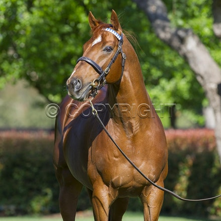NewApproach-10052012-3974 - Darley's champion racehorse and sire New Approach (Galileo - Park Express) at their Seymour Northwood Park Stud.