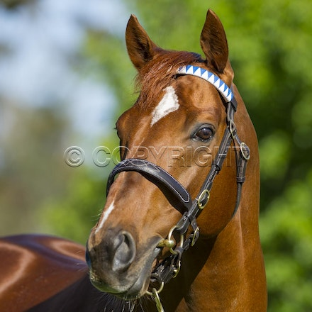 NewApproach-10052012-4050 - Darley's champion racehorse and sire New Approach (Galileo - Park Express) at their Seymour Northwood Park Stud.