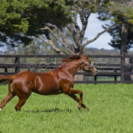 Helmet-PD-10052012-DSC_2367 - Helmet (Exceed and Excel - Accessories) runs in his paddock at Darley's Northwood Park in Seymour, Victoria.  Photo by Darren...