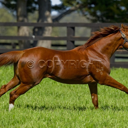 Helmet-PD-10052012-GMP_3280 - Helmet (Exceed and Excel - Accessories) runs in his paddock at Darley's Northwood Park in Seymour, Victoria.  Photo by Bronwen...