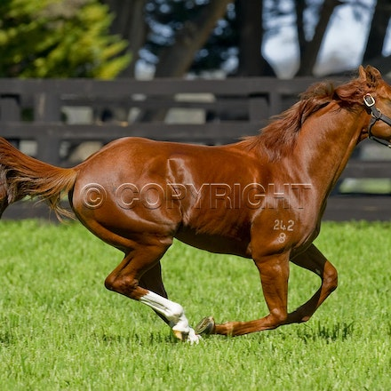 Helmet-PD-10052012-GMP_3282 - Helmet (Exceed and Excel - Accessories) runs in his paddock at Darley's Northwood Park in Seymour, Victoria.  Photo by Bronwen...