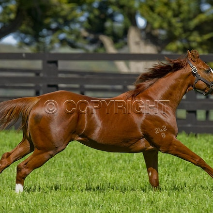 Helmet-PD-10052012-GMP_3284 - Helmet (Exceed and Excel - Accessories) runs in his paddock at Darley's Northwood Park in Seymour, Victoria.  Photo by Bronwen...