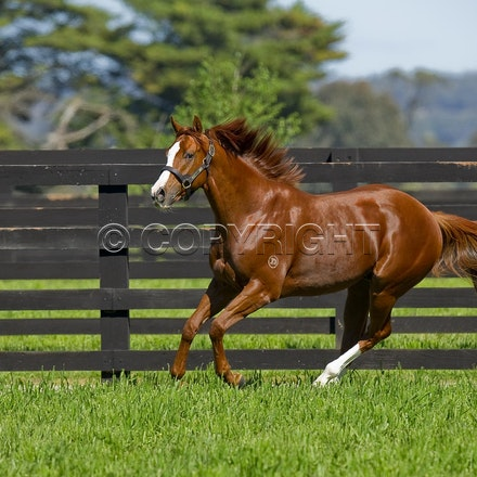 Helmet-PD-10052012-GMP_3296 - Helmet (Exceed and Excel - Accessories) runs in his paddock at Darley's Northwood Park in Seymour, Victoria.  Photo by Bronwen...