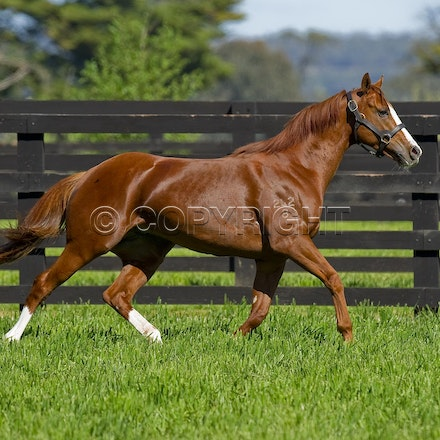 Helmet-PD-10052012-GMP_3303 - Helmet (Exceed and Excel - Accessories) runs in his paddock at Darley's Northwood Park in Seymour, Victoria.  Photo by Bronwen...