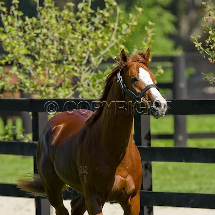 Helmet-PD-10052012-GMP_3306 - Helmet (Exceed and Excel - Accessories) runs in his paddock at Darley's Northwood Park in Seymour, Victoria.  Photo by Bronwen...