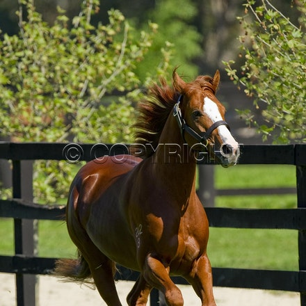 Helmet-PD-10052012-GMP_3307 - Helmet (Exceed and Excel - Accessories) runs in his paddock at Darley's Northwood Park in Seymour, Victoria.  Photo by Bronwen...
