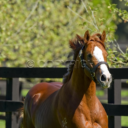 Helmet - Helmet (Exceed and Excel - Accessories), Darley's Caulfield Guineas winning colt and now new stallion.  Photographed at Northwood Park Seymour...