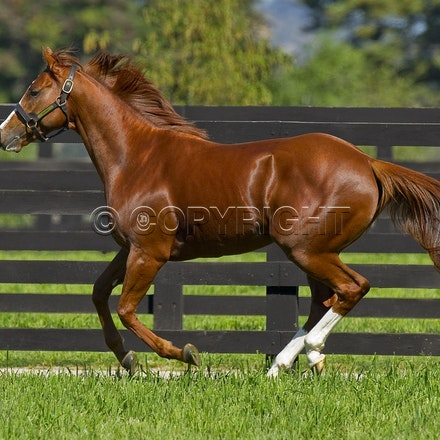 Helmet-PD-10052012-GMP_3318 - Helmet (Exceed and Excel - Accessories) runs in his paddock at Darley's Northwood Park in Seymour, Victoria.  Photo by Bronwen...