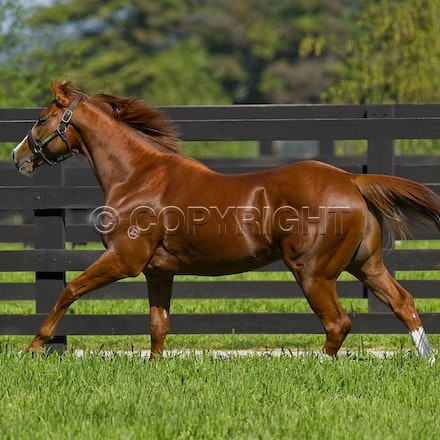 Helmet-PD-10052012-GMP_3320 - Helmet (Exceed and Excel - Accessories) runs in his paddock at Darley's Northwood Park in Seymour, Victoria.  Photo by Bronwen...