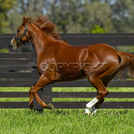 Helmet-PD-10052012-GMP_3328 - Helmet (Exceed and Excel - Accessories) runs in his paddock at Darley's Northwood Park in Seymour, Victoria.  Photo by Bronwen...