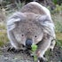 Koala in Kennet Rive