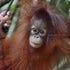 Baby Orangutan Ten Ten in Borneo
