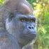 Silverback Gorilla melbourne Zoo