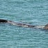 Whales between George River and Sheoak River 7 - Leon Walker Photography