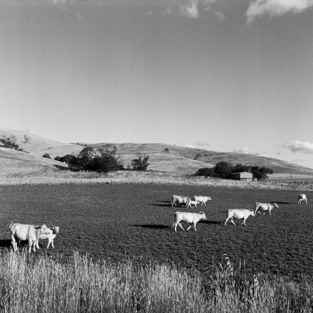 Gundagai Cows 2 - Each archival photograph is stamped and signed by Robert and a brief description of how it was taken.