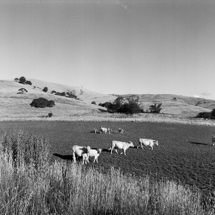 Gundagai Cows - Each archival photograph is stamped and signed by Robert and a brief description of how it was taken.