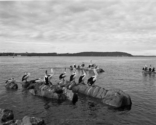 21 Pelicans Batemans Bay - Each archival photograph is stamped and signed by Robert and a brief description of how it was taken.