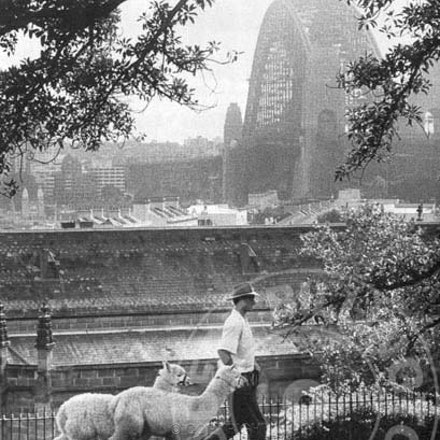 Alpaca Man & The Rocks - Alpacas are led through The Rocks on their way to the Royal Easter Show. ..Each archival photograph is stamped and signed by Robert...