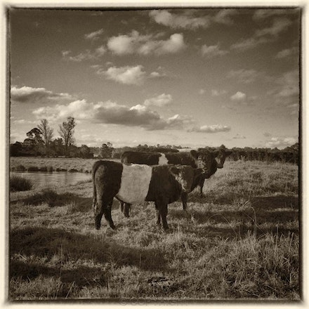 Three Belted Galloways, Mittagong - Each archival photograph is stamped and signed by Robert and a brief description of how it was taken. The options...