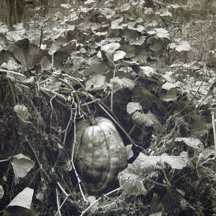 Giant Pumpkins, Gundagai - Each archival photograph is stamped and signed by Robert and a brief description of how it was taken. The options are as follows: -...